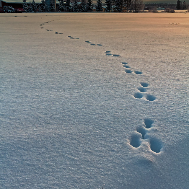 """""""Rabbit Footprints In The Sunset"""" stock image"""