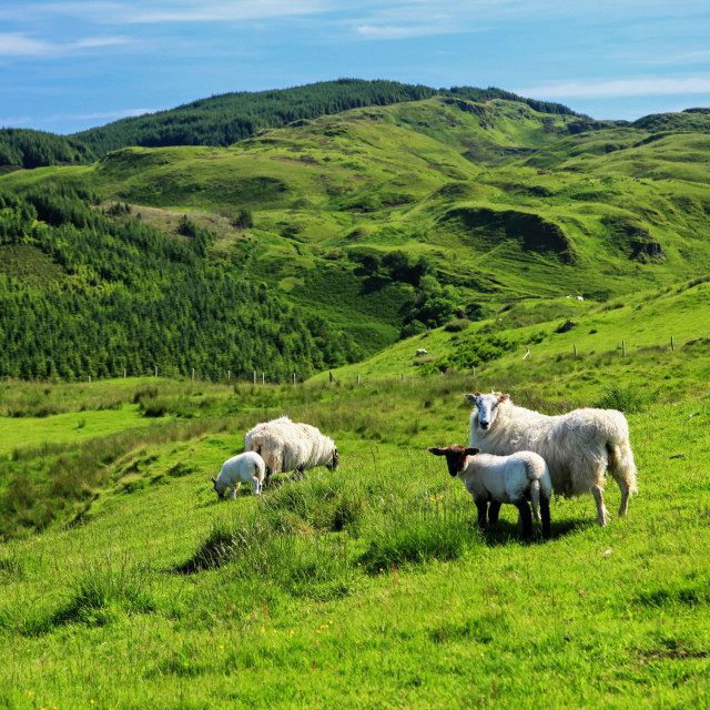 """Sheep on a hillside"" stock image"
