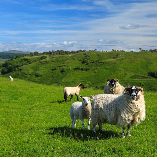 """Sheep on a hillside above Oban"" stock image"