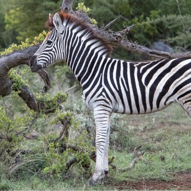 """Zebra foal"" stock image"