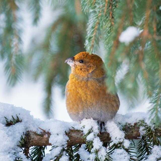"""Pine grosbeak feeding in a spruce"" stock image"
