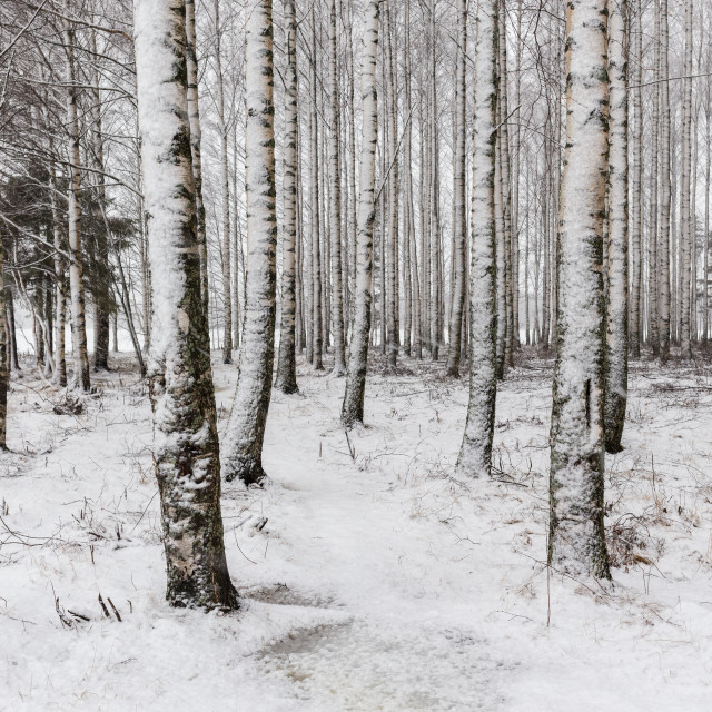 """Snowy birch tree trunks"" stock image"