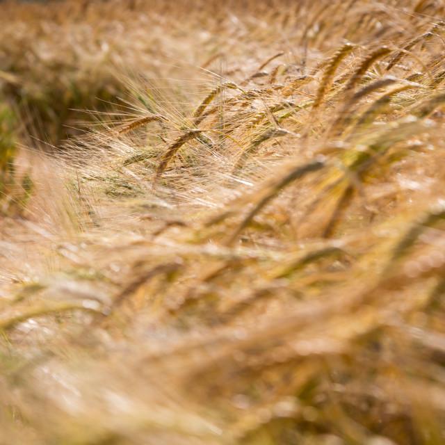 """A Field of Ripe Barley"" stock image"