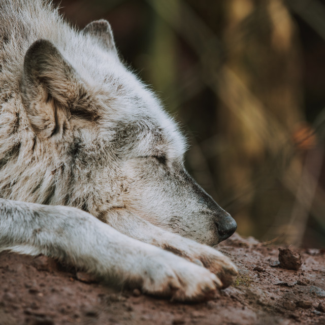 """""""Let Sleeping Wolves Lie"""" stock image"""