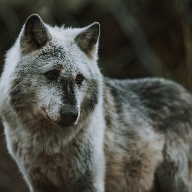 """""""Canis Lupus"""" stock image"""