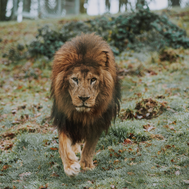"""""""King of the Jungle"""" stock image"""