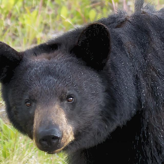 """Black Bear"" stock image"