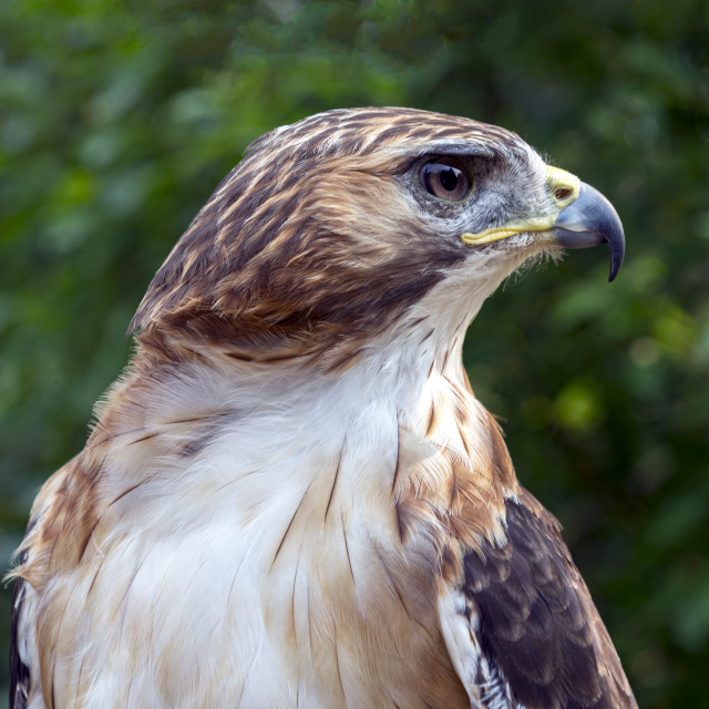 """""""Red Tailed Hawk"""" stock image"""