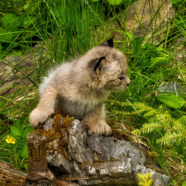 """""""Lynx Kitten"""" stock image"""