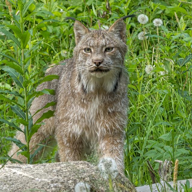 """Lynx"" stock image"