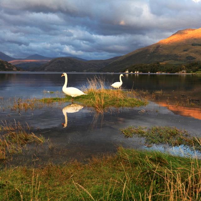 """Swans at Loch Etive"" stock image"