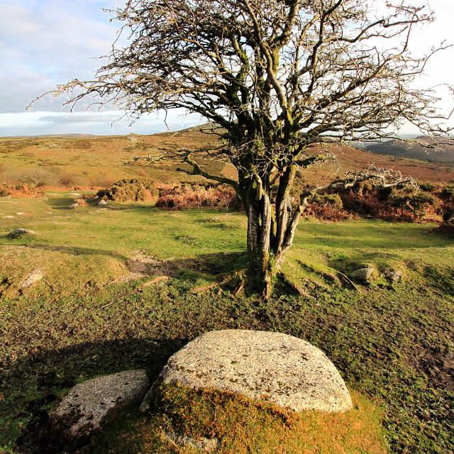 """Rowan Tree"" stock image"