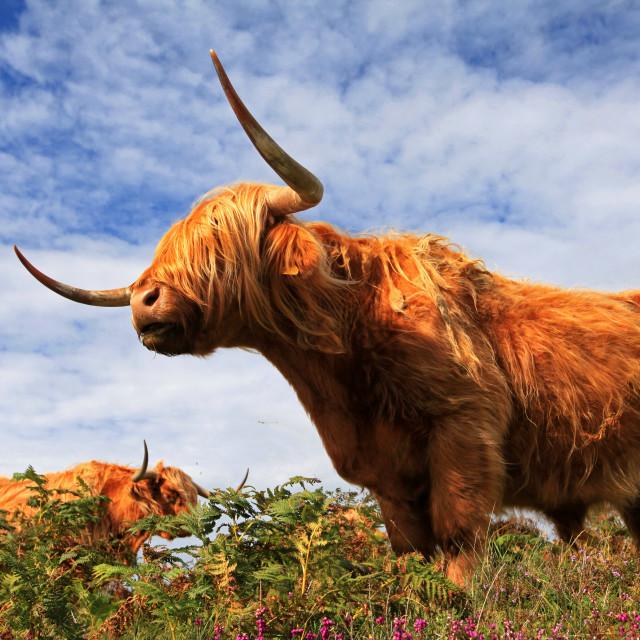 """""""Scottish Highland Cattle"""" stock image"""
