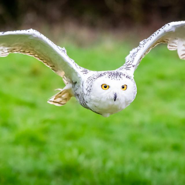 """Snowy Owl in Flight"" stock image"