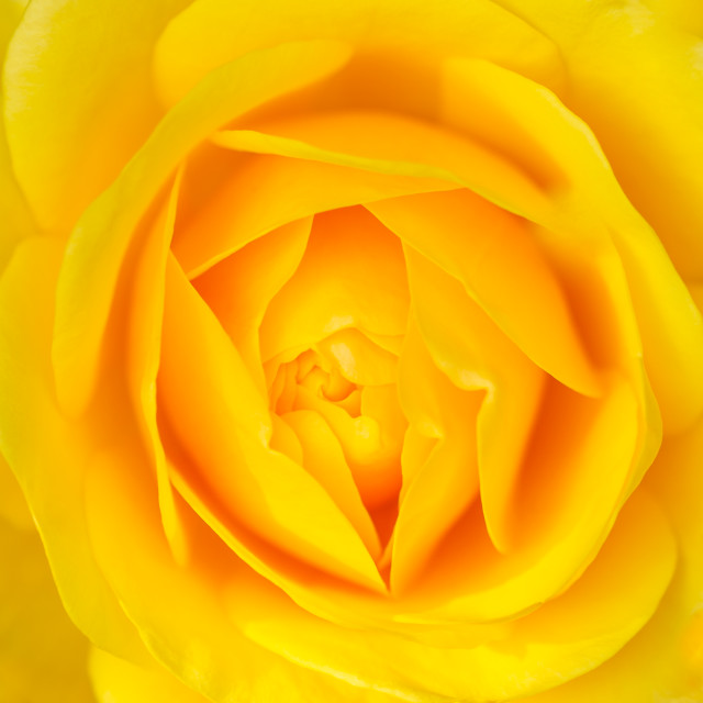 """The Yellow Rose"" stock image"