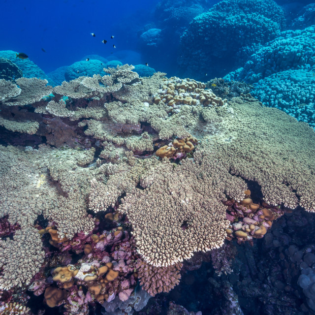 """Table coral in the Red Sea"" stock image"