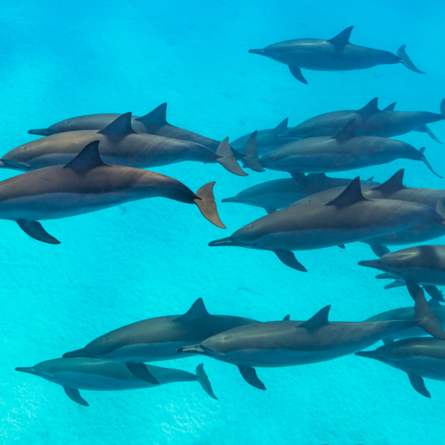 """Spinner dolphins scene from above"" stock image"