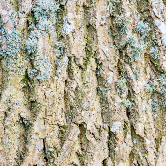 """Ash tree bark textured detail"" stock image"