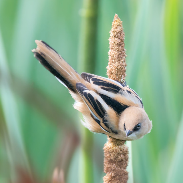 """""""A young female bearded tit at Rainham Marshes"""" stock image"""