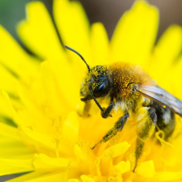 """""""Bee feeding on dandelion"""" stock image"""