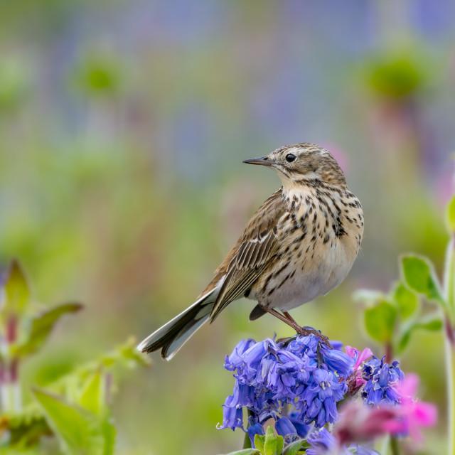 """Bird in flower meadow"" stock image"