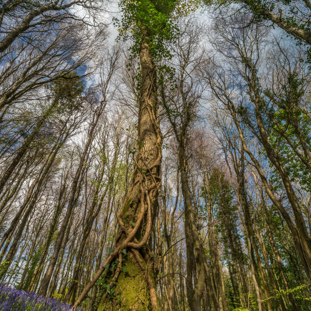 """Bluebell tree canopy"" stock image"