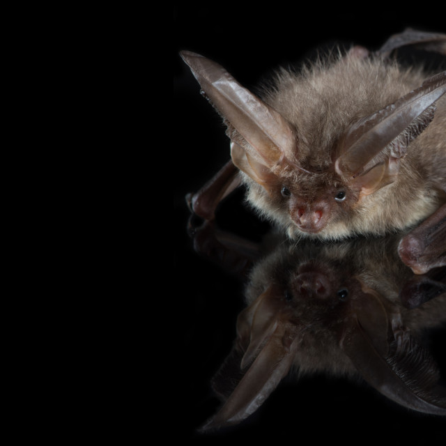 """Brown long-eared bat on a black background"" stock image"
