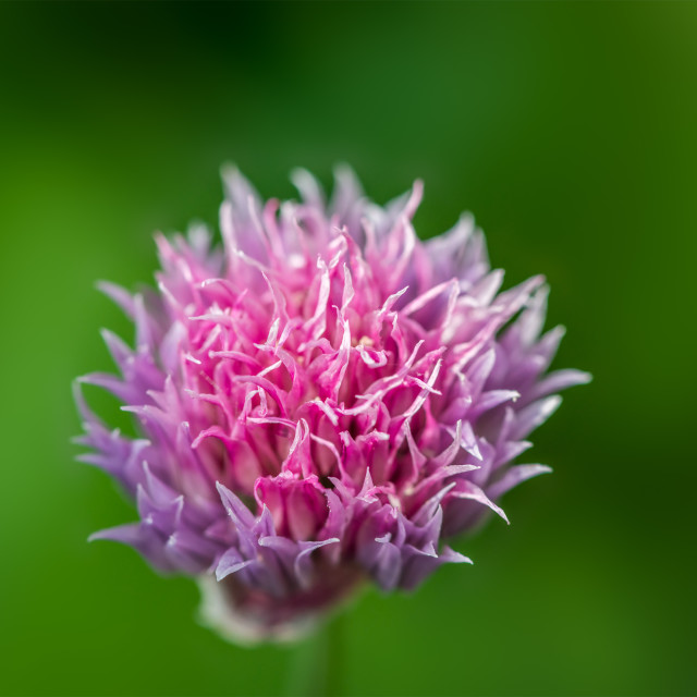 """One chive flower"" stock image"