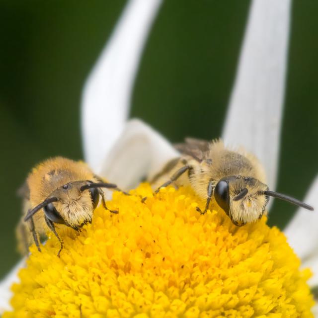 """Two Colletes daviesanus plasterer bees"" stock image"