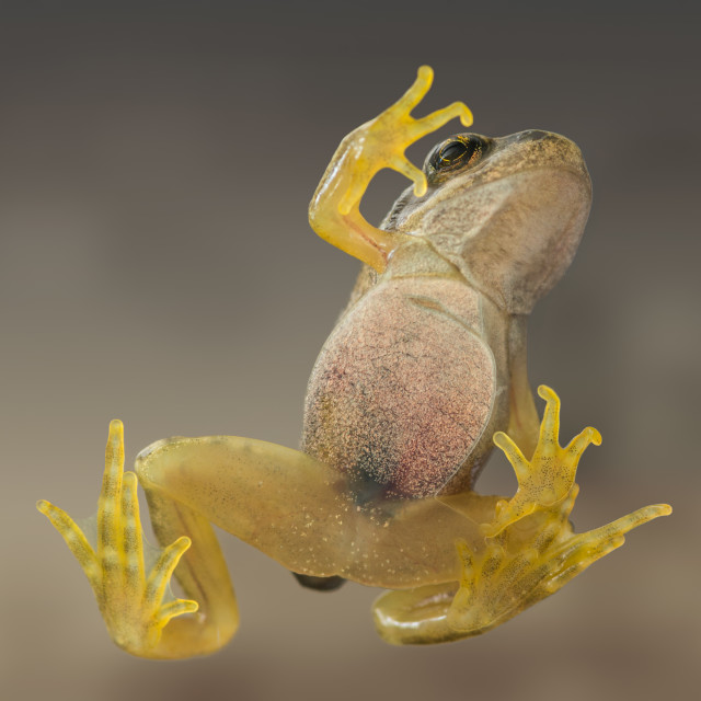 """A common frog taken from below through glass"" stock image"