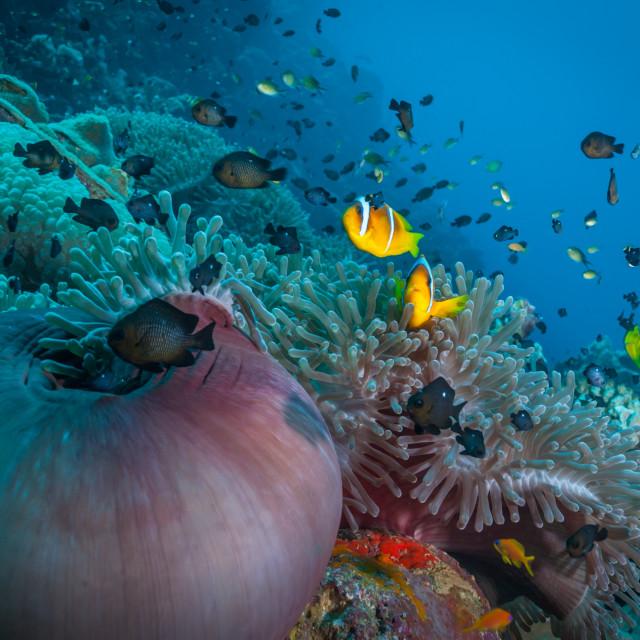 """Coral reef anemone scene"" stock image"