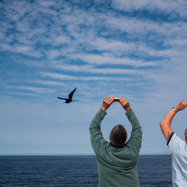 """Trying to photograph magnificent frigate birds"" stock image"