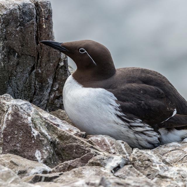 """""""Guillemot sitting on cliff ledge nest"""" stock image"""