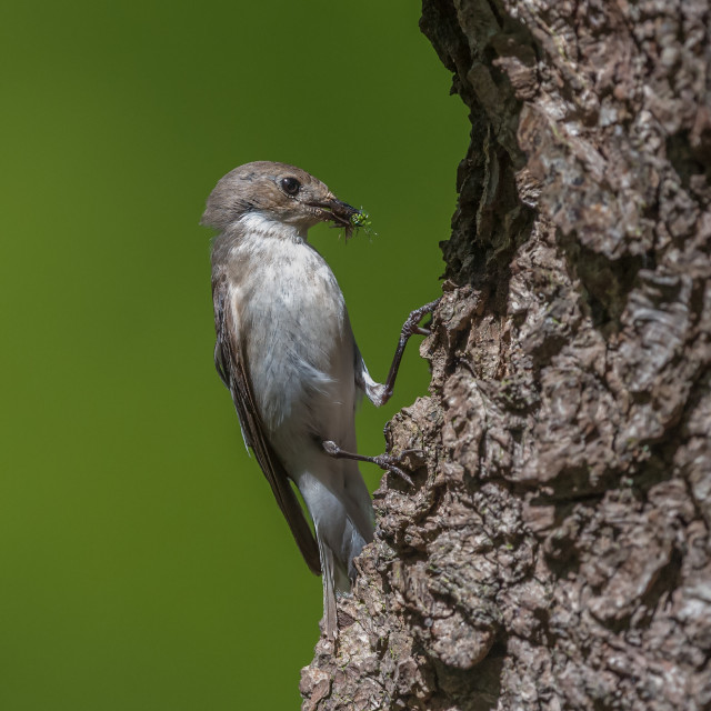 """""""A female pied flycatcher at nest about to feed its young"""" stock image"""