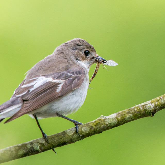 """""""Close up of a perching female pied flycatcher with a stonefly in its beak."""" stock image"""