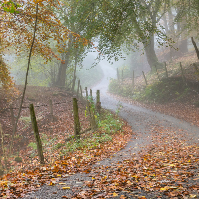 """Trees line a leafy lane in a mixed woodland in Autumn fog"" stock image"