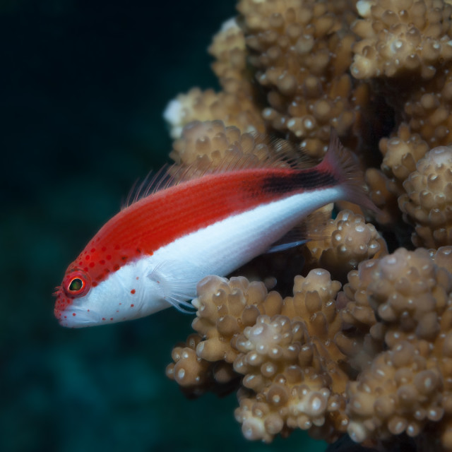 """""""Freckled Hawkfish in the Maldives"""" stock image"""
