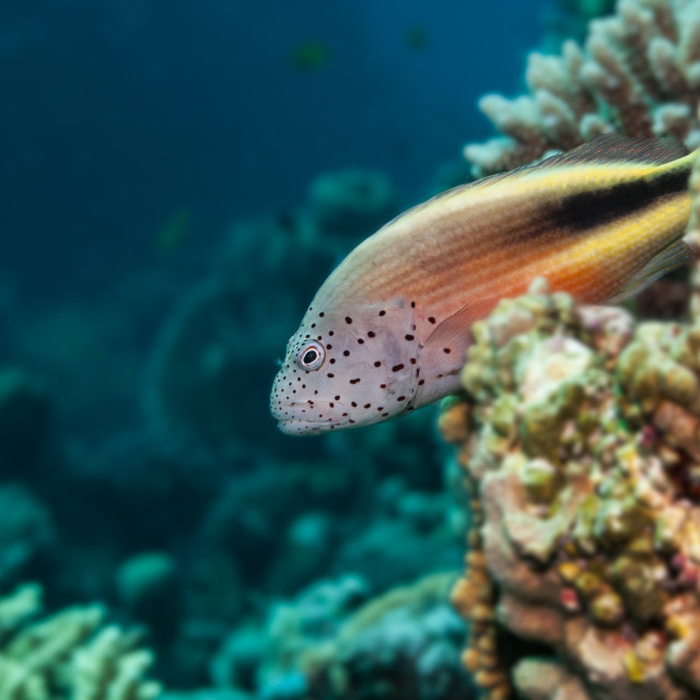 """""""Freckled hawkfish red sea"""" stock image"""