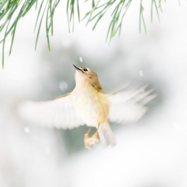 """""""Goldcrest flight winter scene"""" stock image"""