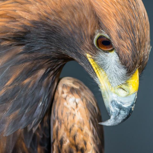 """""""Golden Eagle profile portrait"""" stock image"""