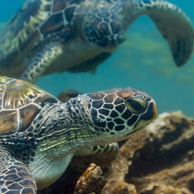 """Two green sea turtles underwater"" stock image"