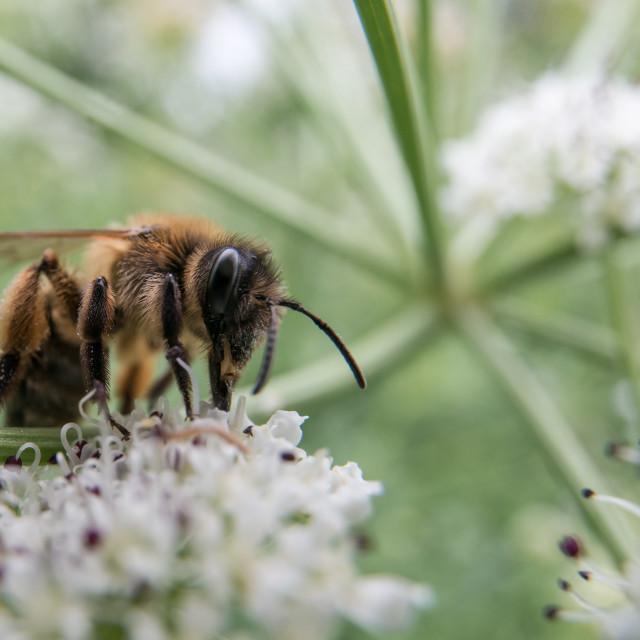 """Honey bee feeding on umbellifer"" stock image"