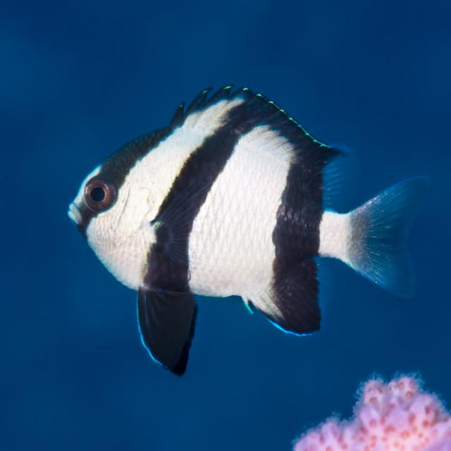 """One humbug dascyllus underwater"" stock image"