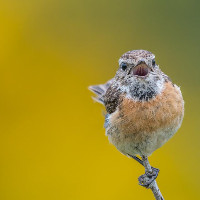 """Isolated bird calling"" stock image"