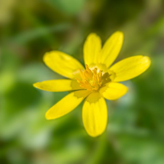 """""""Lesser celandine flower"""" stock image"""