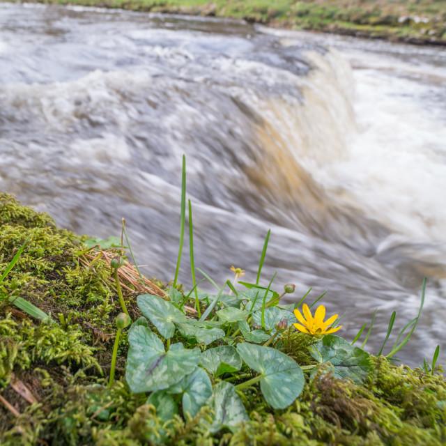 """Lesser celandine flower by waterfall"" stock image"