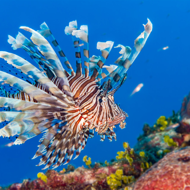 """Lionfish in the Bahamas"" stock image"