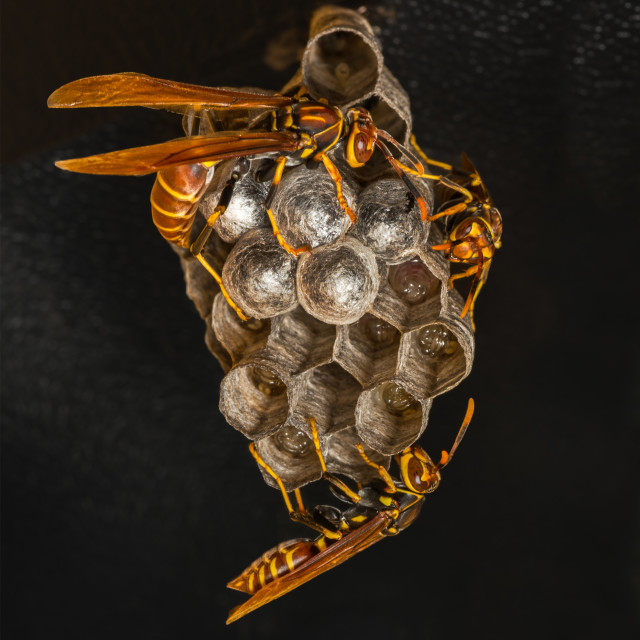 """Three paper wasps at nest"" stock image"