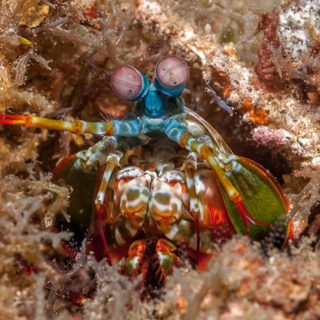 """Peacock mantis shrimp"" stock image"