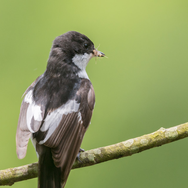 """""""Rear view of a male pied flycatcher in the rain"""" stock image"""